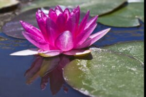 single water lily